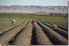 Harvest Asparagus